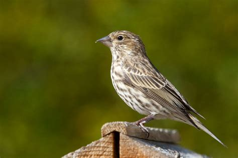 florida finch species pictures to pin on pinterest pinsdaddy