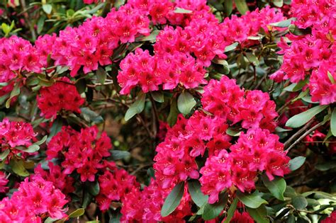 rhododendron planting tips pruning tips for rhododendron plant to see it sparkling in season
