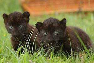 Your morning adorable: Black panther cubs make their debut ...