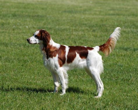 irish red and white setter dog breed information and facts