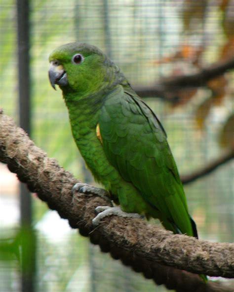 amazona mercenaria amazona mercenarius aves exoticas