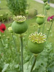 Opium Poppy Pods (Papaver somniferum) - Opiate Addiction ...