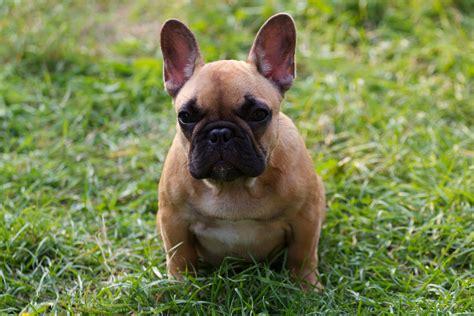 Ee  File Ee  Puppy  Ee  French Ee    Ee  Bulldog Ee    Ee  Jpg Ee    Ee    Ee