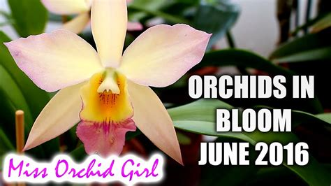 when are orchids in bloom orchids in bloom june 2016 orchid nature