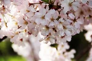 Rosa Blühende Bäume April : april kirsche fr hling rosa bl te makro ansicht ast stockfoto colourbox ~ Michelbontemps.com Haus und Dekorationen
