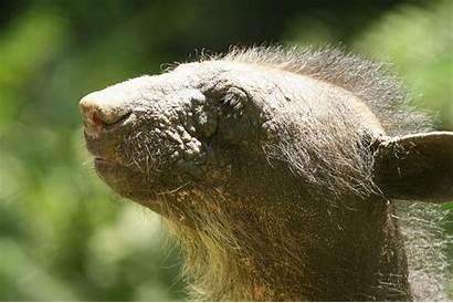 Bear Hairless Mirror Dominga