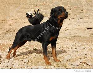 Pets: Rottweiler And Miniature Rooster - Stock Photo ...