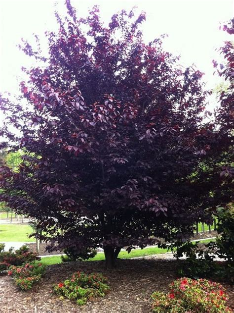 purple leaf trees identification prunus cerasifera nigra garden prunus deciduous trees plants