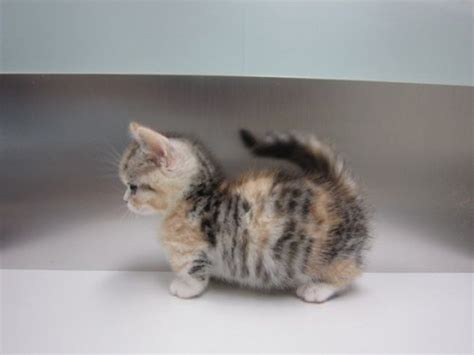 munchkin cat for adoption 31 most beautiful munchkin cat pictures and photos