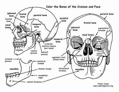 Anatomy Coloring Physiology Workbook Skull Human Head