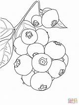 Blueberry Coloring Blueberries Bush Printable Pages Clipart Drawing Bushes Berry Sheets Cartoons Preschool Crafts Colouring Template Supercoloring Category Select Rainbow sketch template