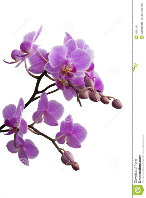 purple orchid stock image image