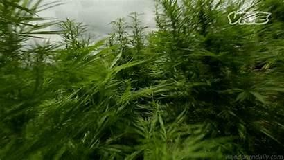 Cannabis Marijuana Growing Kush Jane Field Through