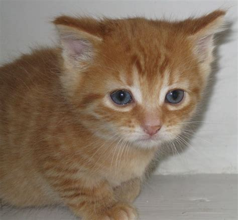 A Ginger Kitten Girl Pet Samaritans