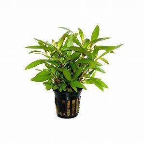 Pot Pour Plante : grande plante pour aquarium hygrophila siamensis 53b ~ Teatrodelosmanantiales.com Idées de Décoration