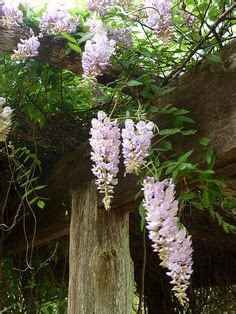 not shabby vine wistful wisteria on pinterest wisteria tree wisteria arbor and vines