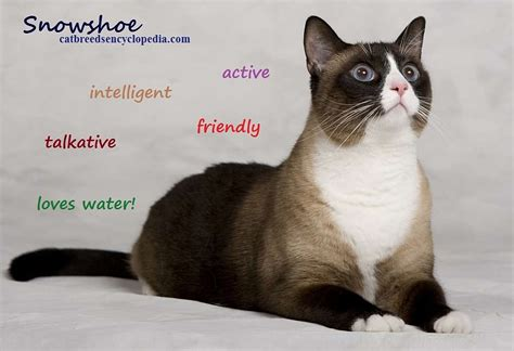 snowshoe cat cat breeds encyclopedia
