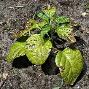 Hortensien Blätter Werden Braun Frost : chili blaetter werden braun ~ Lizthompson.info Haus und Dekorationen