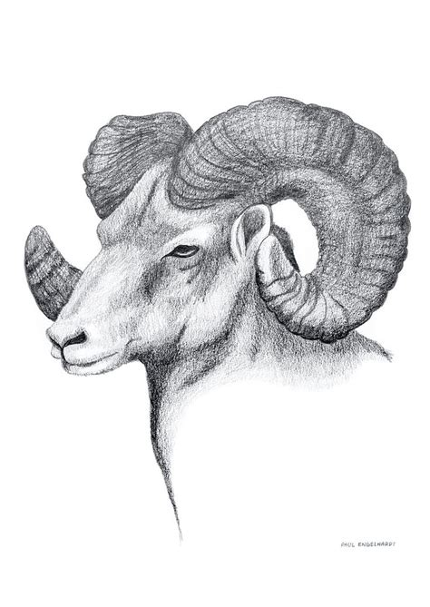 wildlife series ram pencil  paper october
