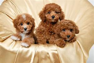Red Toy Poodle - wallpaper.