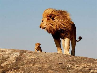 Lion Cub Wallpapers Male