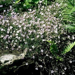 silene planter et cultiver ooreka With modeles de rocailles jardin 4 gypsophile planter et cultiver ooreka