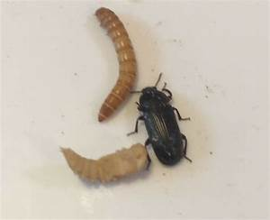 Live Darkling Beetles  Adult Mealworms   Start Your Own