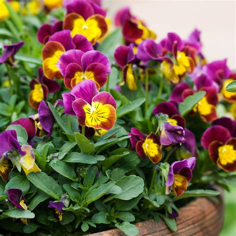 best flowers to plant best winter flowers for color sunset