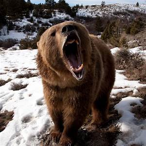 Angry Grizzly Bear - 1024x1024 - 468428