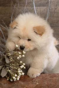 59 best images about Chow chow dogs/puppies on Pinterest ...