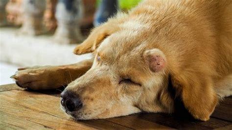 guz na ciele psa  moze oznaczac twoje zwierzeta