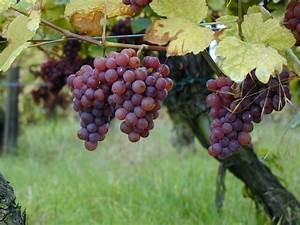 Achat Pied De Vigne Raisin De Table : file gewurztraminer raisins sur pied de wikipedia ~ Nature-et-papiers.com Idées de Décoration