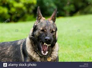German shepherd dog, Alsatian, showing its teeth Stock ...