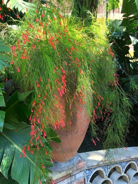jual tanaman hias bunga air mancur merah murah berbakat