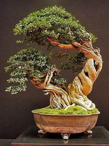 Bonsai Baum Arten : die besten 25 bonsai baum arten ideen auf pinterest ~ Michelbontemps.com Haus und Dekorationen