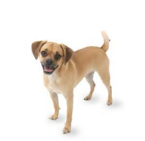 puggle puppies glamorous pooch puppies for sale