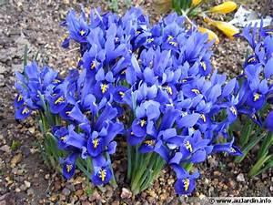 Quand Planter Des Dahlias : bulbe iris quand planter ~ Nature-et-papiers.com Idées de Décoration