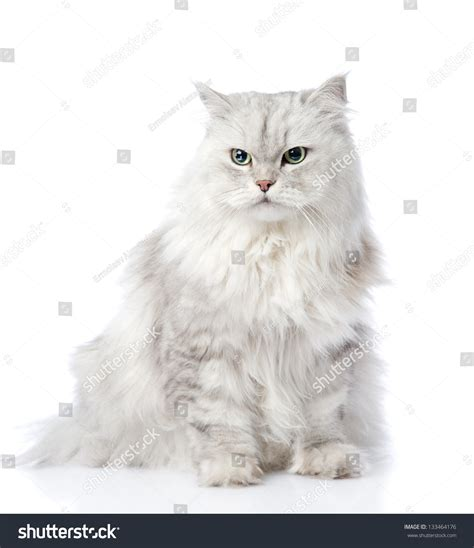White And Grey Persian Cat  Wwwpixsharkcom Images