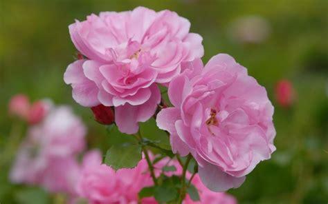 rosa blühender strauch rosa uetersens rosenprinzessin 174 strauch
