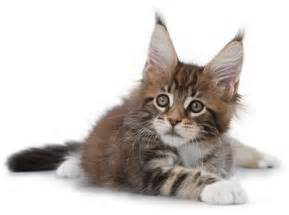 feline cat healthy cat food for precise feline needs royal canin