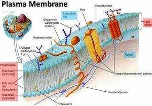 How Are Phospholipids Different From Ordinary Lipids