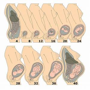 Pregnancy Growth Chart Available Inside Baby Countdown App