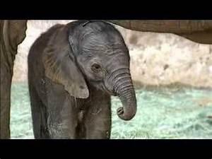 Baby Elephant Born at the San Diego Zoo Safari Park - YouTube