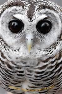 Rufous-Legged Owl