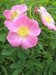 Rosa Carolina Pasture Rose