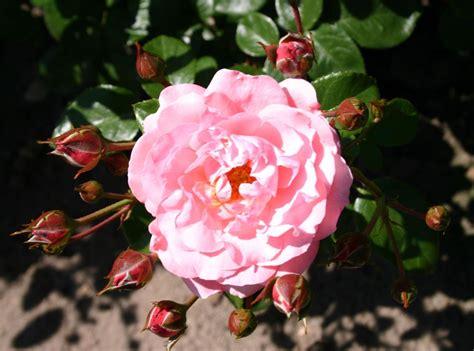 Strauchrose 'mein Schöner Garten' ®  Rosa 'mein Schöner