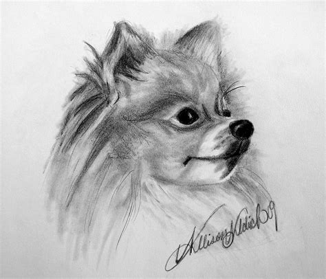 pomeranian drawing  allison aldrich