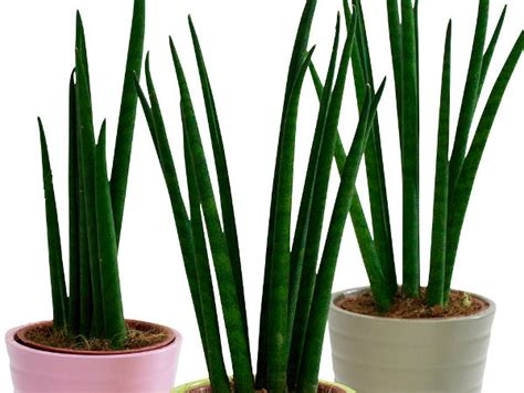 pflanzen die wenig licht brauchen zimmerpflanzen die wenig licht brauchen bogenhanf