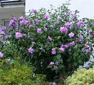 Lang Blühende Pflanzen : eibischstrauch jk 39 s pflanzenblog ~ Eleganceandgraceweddings.com Haus und Dekorationen