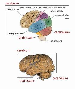 The Four Major Regions Of The Brain